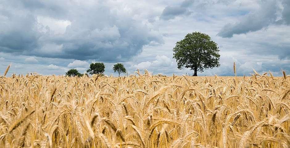 Kai Pilger, Unsplash,campo de trigo
