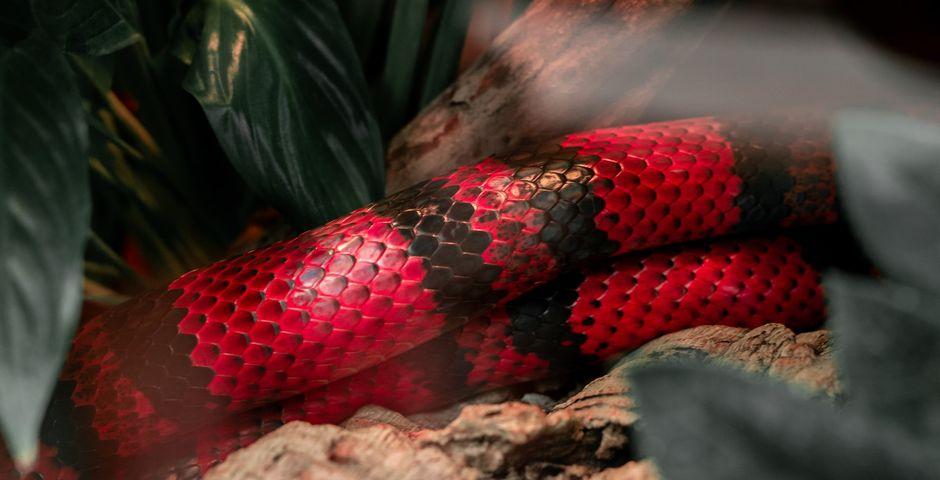Chris Reyern, Unsplash,serpiente roja